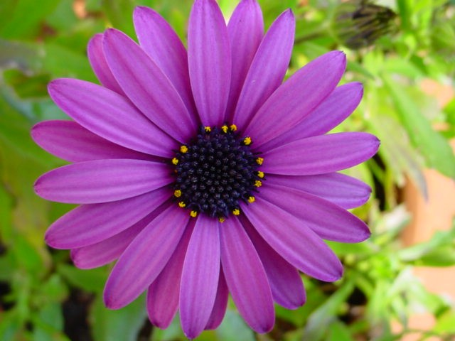 Go Back > Gallery For > Purple Daisies