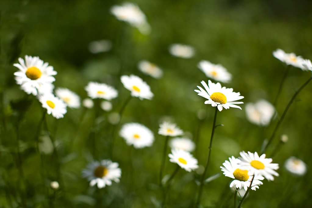 in which i wonder, why bother with the study of biblical daisies, Beautiful flower