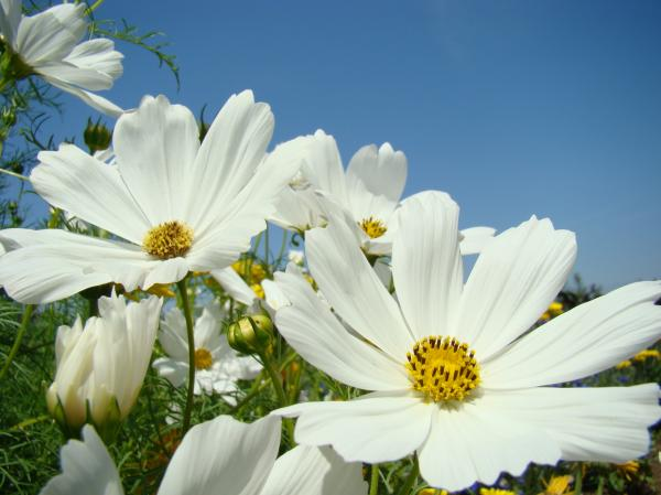 Works in the bible are not so scary simple really they Where did daisies originate