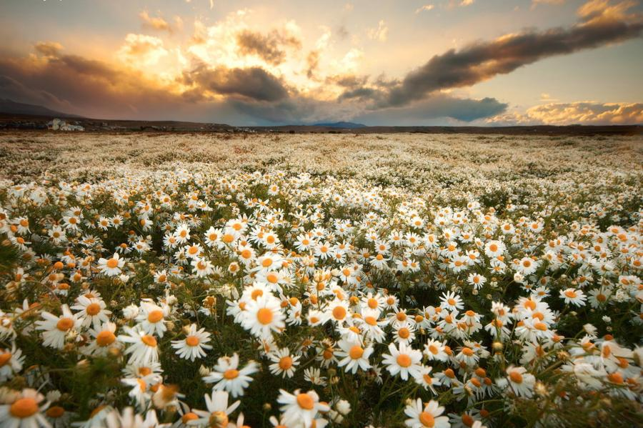"""What are """"works"""" in the Bible – """"works"""" are like daisies… Field Of Daisies"""